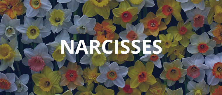 Narcisses assortiment