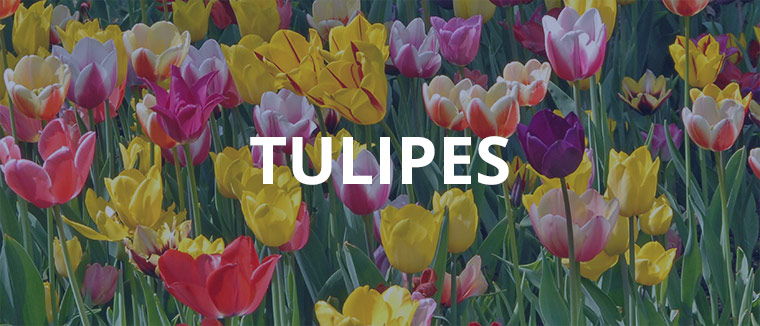 Assortiment de tulipes