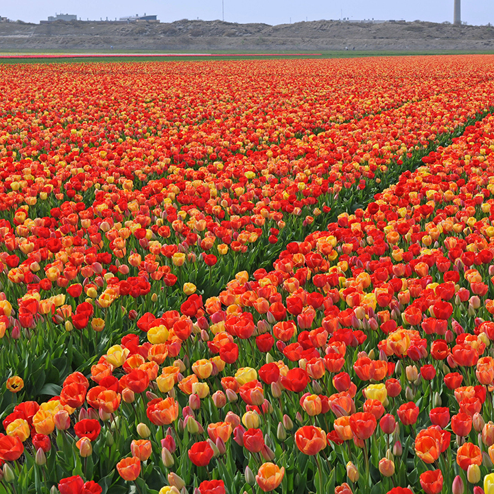 Champs de tulipes plein d'inspiration
