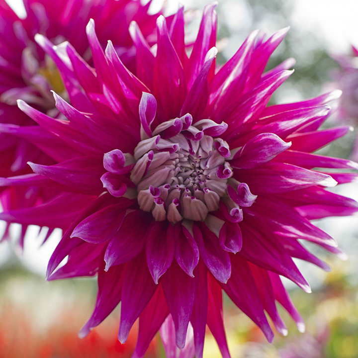 Informations Dahlias